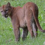 Puma at the lodge!
