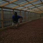 Cocoa Bean drying