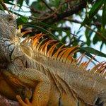 Iguana Antics