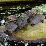 Resident turtles