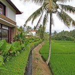 Rice Paddy View