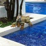 Iguane au bord de la piscine!