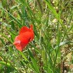 Luberon scarlet poppy