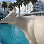 Cow by the pool
