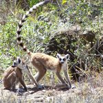 Lemuren im Isalo-Gebirge