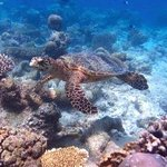 Snorkeling : Turtle at the reef