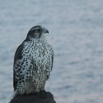 Gyr Falcon seen during natural history trip with Iceland Hor