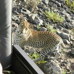 Leopard on the final morning