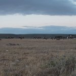 A large group of Bontebok