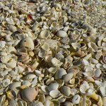 the famous Sanibel Island sea shells