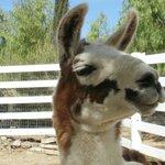 A happy lama