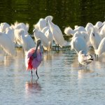 Roseate spoonbill with egrets