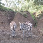 Zebras we saw on our nature walk.
