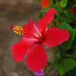 Beautiful hibiscus in the surrounding gardens