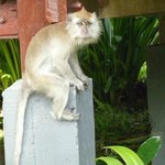 long tail macaque