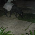 tapir, 5 minutes from room in hotel grounds