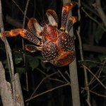 huge coconut crab