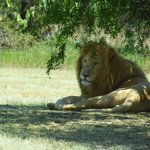 Daddy lion resting in the shade.