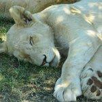 Many white lions.