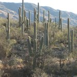 Saguaro cacti abound