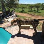 Cheetah at the pool