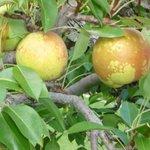 Glenoka farm Bosc pears