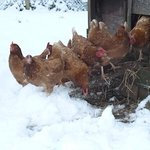 Hens in the snow
