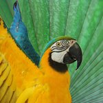 Batman, Our beautiful Blue and gold macaw, He loves to show his wings