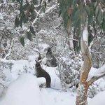 Wallabies Enjoying the fresh snow