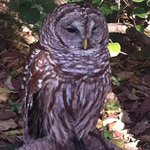 poor owl