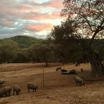 Sunset at Heulva with iberico piggies