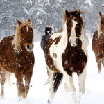 Our horses love winter in Colorado