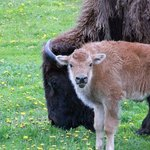 Rocky Mountain Buffalo Ranch & Guest Cottage Buffalo Tours