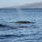 3 humpbacks relaxing between Lahania, Maui and Lanai