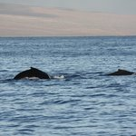 Humpbacks in Maui