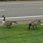 Lots of geese in Salem