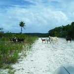 Goats in Road trying to find secret beach