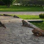 Iguana's just hanging around