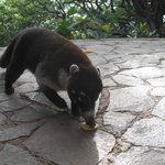 The friendly resident coati