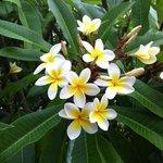 beautiful frangipani flowers are everywhere in the resort