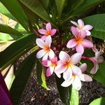gorgeous pink frangipani flowers at the resort