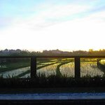 Sunset view across paddy field