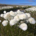 Arctic cotton