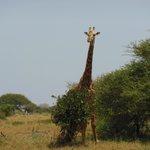 Giraffa stupita