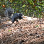 Delmarva Fox Squirrel on VA side
