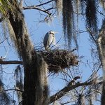 nesting Great Blue Heron in the picnic are.