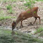 Red Duiker by the water hole and hide