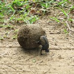 Protected Dung beetle