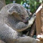 Koala in trees