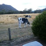 Friendly Cows at my door.